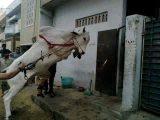 Cow Eid Images