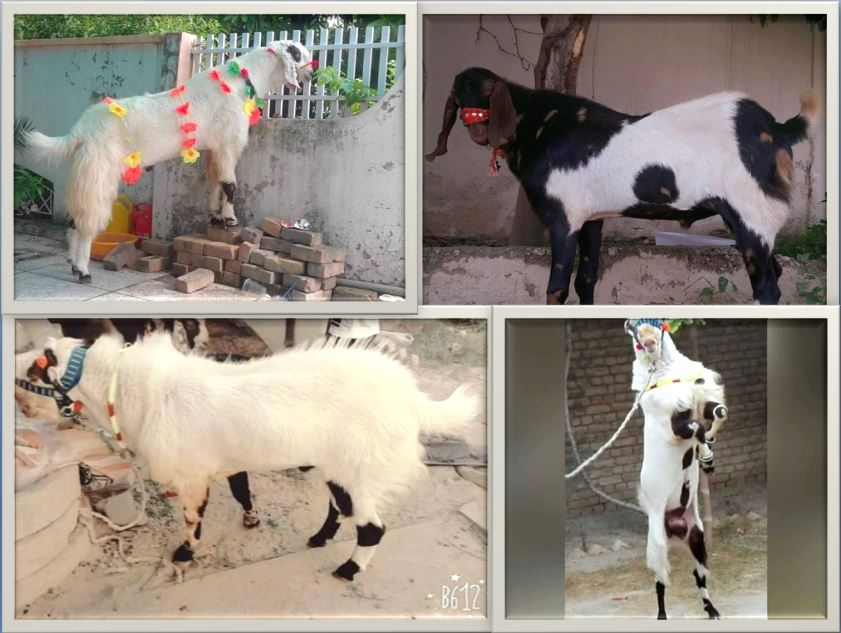 Eid-ul-Azha Bakra Pictures