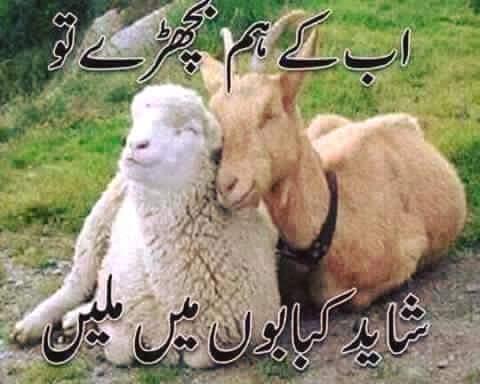 Eid-ul-Azha Funny Bakra HD Wallpapers