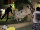 Eid-ul-Adha Cow Funny Photos