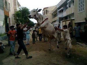 Eid-ul-Adha Amazing Cow Images