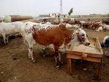 Eid Qurbani Cow Images for Eid-ul-Azha