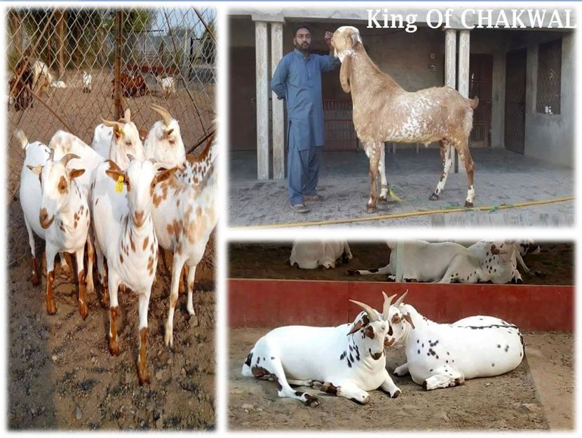 Bakra Eid-ul-Azha Hd Wallpapers